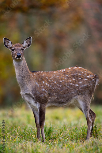 Fallow deer amongst Autumn trees