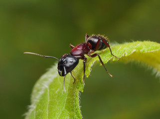 garden ant on a leaf