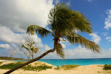 Palm Tree at Mullet Bay
