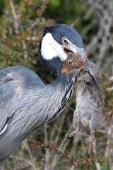Heron Bird and Rat