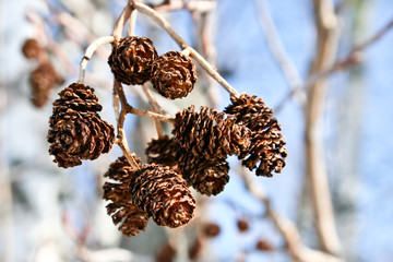 Close-up of Male Alder Catkins