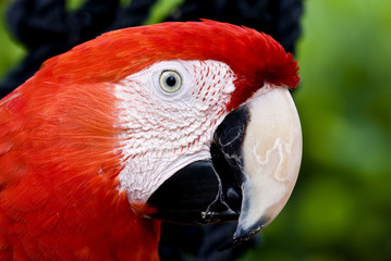 Profile of a parrot Scarlet Macaw (Ara macao)