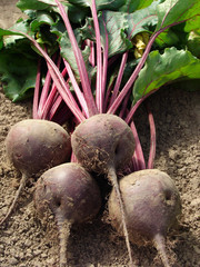 beetroots with tops