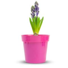 fleur série - jacinthe - hyacinthe bleue sur fond blanc