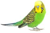Fototapety portrait of  budgerigar