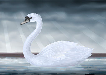 Graceful white mute swan (Cygnus olor)