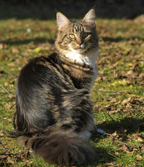 Chatte Maine coon assise, en automne
