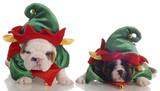 two english bulldog puppies dressed up as santa elves poster