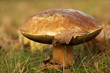 Big brown mushroom in the grass with a leaf on it