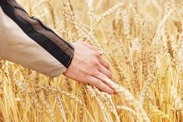 Hand in a wheaten field