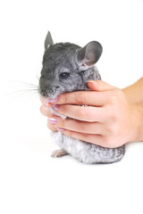Grey nice chinchilla