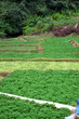Vegetable Farm at Cameron Highlands, Malaysia..