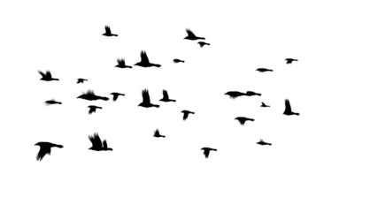 Crows Flying in a Flock