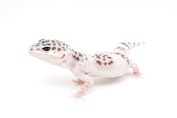 TUG Hypo Leopard Gecko on a white background
