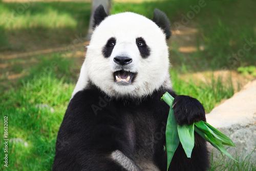 Foto Spatwand Dragen Giant panda