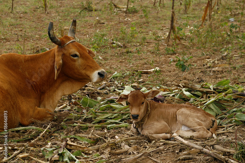 A cow and a calf, resting on the field