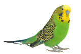 portrait of  budgerigar