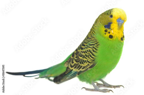 portrait of  budgerigar - 18647841