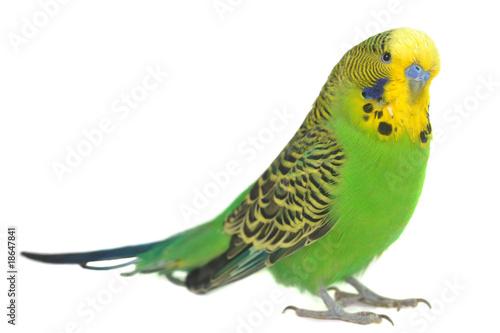 Leinwanddruck Bild portrait of  budgerigar