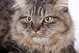 Cat, British longhair poster