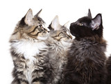 Three beautiful Maine Coon kittens poster