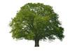 Baum Linde allein