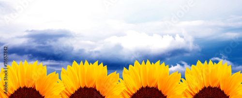 Sunflowers and sky
