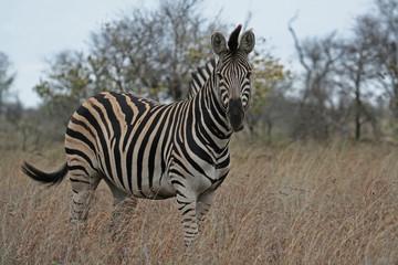 Zebra, Südafrika