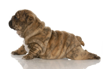 four week old brindle english bulldog puppy with reflection