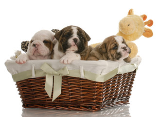 four week old bulldog puppies in a wicker basket