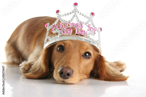 Dachshund princess
