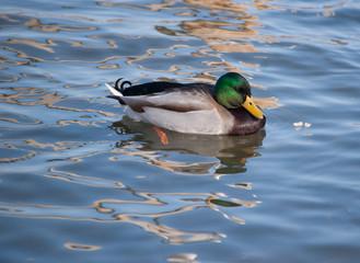 male mallard duck swimming in lake