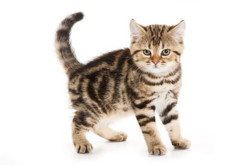 Scottish Fold kitten on white background