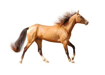 akhal-teke horse isolated on white