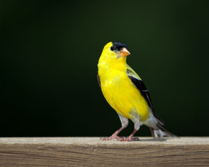 American Goldfinch perched on a deck rail