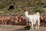 Llama (Lama glama) a high altitude Camelid from South America. poster