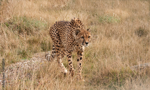 Cheetah loping along through dried grass