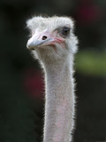 african ostrich close up looking at camera