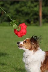 Kooikerhondje mit Blume