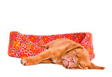 Puppy Sleeping in Puppy Cot poster