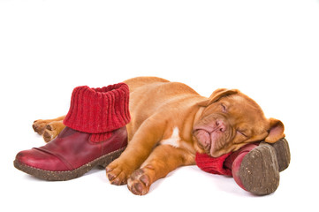 Puppy Sleeping in Winter Boots