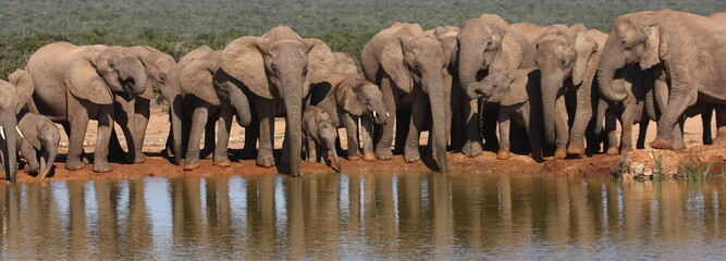 Elephant herd panorama.