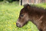 Mini-Shetland-Pony poster