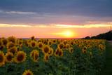 Fototapeta Sunset and sunflower