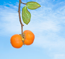 Two persimmons on branch
