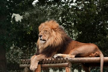 Lion apparently sleeping