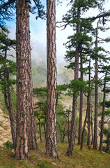 Summer misty pine forest on hill