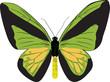 Постер, плакат: The drawn butterfly ornithoptera goliath