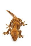 Slender Prehensile-tailed Gecko poster
