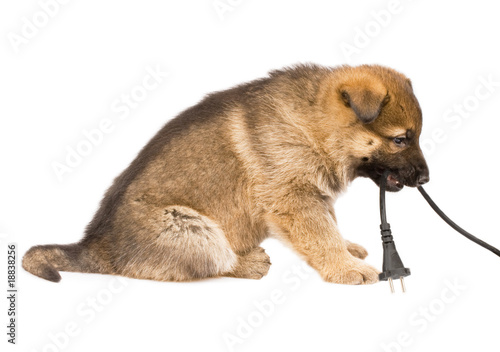 Sheepdogs puppy isolated over white background
